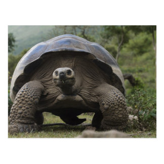 Riesige SchildkrötenGeochelone Galapagos Postkarte