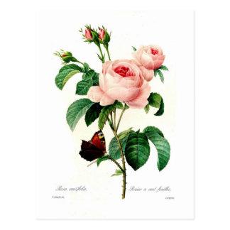 Rosa centifolia durch Pierre-Joseph Redouté Postkarte