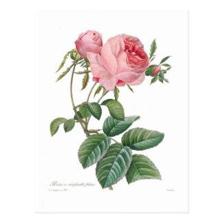 Rosa centifolia postkarten
