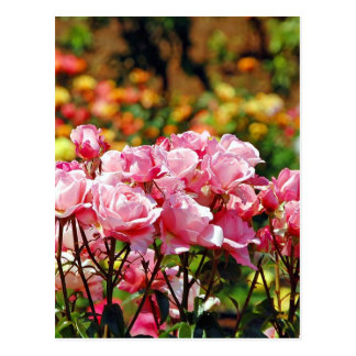 Rosa Frühlings-Rosen-Gartendruck Postkarte