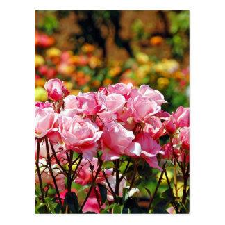 Rosa Frühlings-Rosen-Gartendruck Postkarten