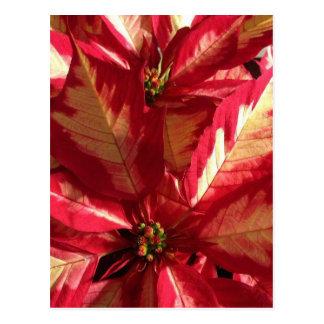 Rosa Poinsettia Postkarte