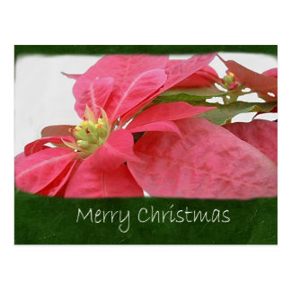 Rosa Poinsettias 1 - frohe Weihnachten Postkarte