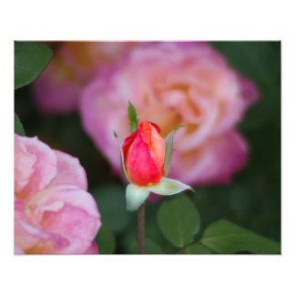 Rosa Rosen-Knospen-Blumen-Fotografie Photos