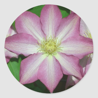 Rosa und weiße Clematis-Frühlings-Blume Runder Aufkleber