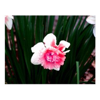 Rosa-und weißedoppelte Narzisse Postkarte