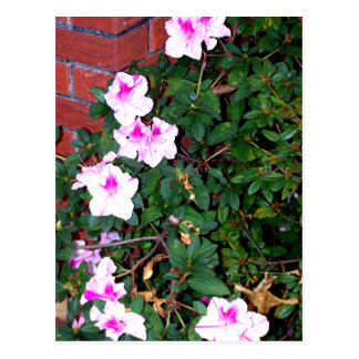 Rosa/weiße Azalee u. Ziegelsteine Postkarte