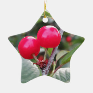 Rote Montmorency-Kirschen auf Baum im Kirschgarten Keramik Ornament