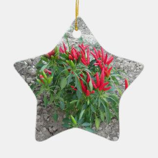 Rote Paprikaschoten, die an der Pflanze hängen Keramik Stern-Ornament