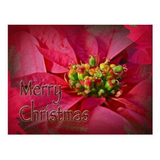 Rote Poinsettia - Weihnachten Postkarte