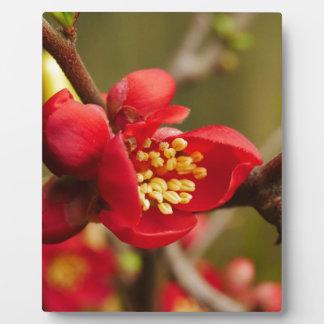 Rote Quitten-Blumen-Plakette Fotoplatte