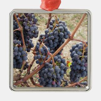 Rote Trauben auf der Rebe. Toskana, Italien Quadratisches Silberfarbenes Ornament