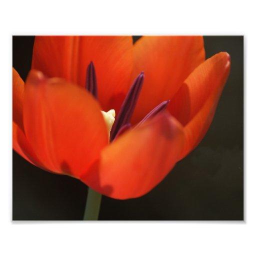 Rote Tulpe Fotodrucke