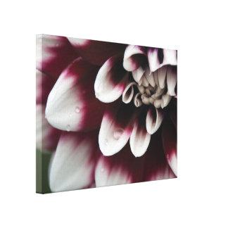 Rote und weiße Dahlie-Blume Galerie Gefaltete Leinwand