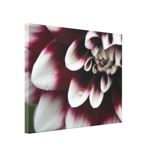 Rote und weiße Dahlie-Blume Leinwanddruck