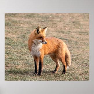 roter Fox 20x16 auf einem Gebiet Poster