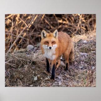 roter Fox 20x16 herauf nahes und persönliches Poster