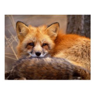 Roter Fox Postkarte