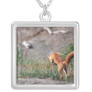 Roter Fox, Vulpes Vulpes, Alaska-Halbinsel, 3 Versilberte Kette