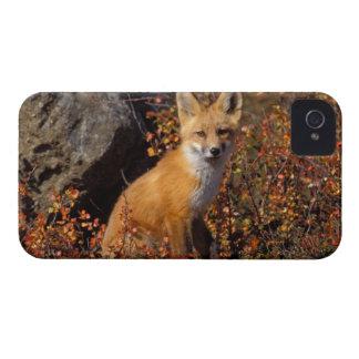 roter Fuchs, Vulpes Vulpes, in den Herbstfarben iPhone 4 Etuis