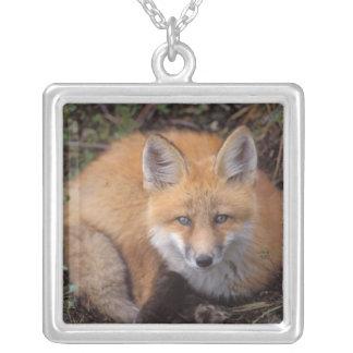 roter Fuchs, Vulpes Vulpes, in den Herbstfarben Versilberte Kette
