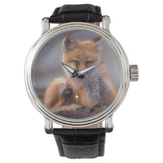 roter Fuchs, Vulpes Vulpes, Welpe, der sich Armbanduhr