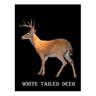 Rotwild (Dollar) Weiß-Angebunden Postkarte