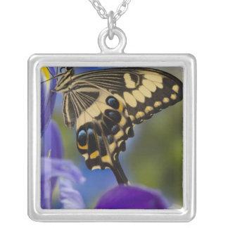 Sammamish, tropischer Schmetterling 6 Washingtons Versilberte Kette