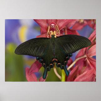 Sammamish, tropischer Schmetterling 7 Washingtons Poster