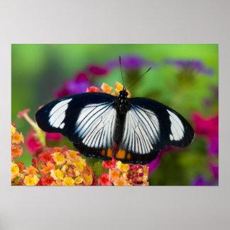 Sammamish, Washington. Tropische Schmetterlinge 70 Poster