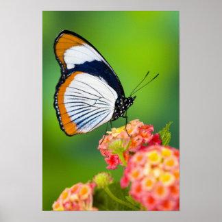Sammamish, Washington. Tropische Schmetterlinge Poster