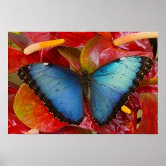 Sammamish Washington tropischer Schmetterling 8 Poster