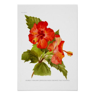 Scarlet-Malve (Hibiskus) Poster