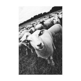 Schafe Schwarz Weiß Foto Leinwanddruck