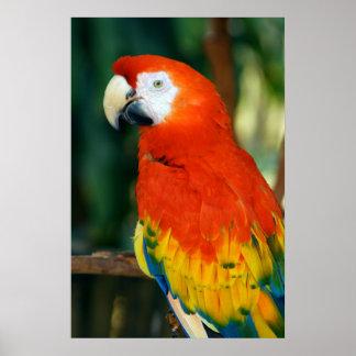 Scharlachrot Macaw- Poster
