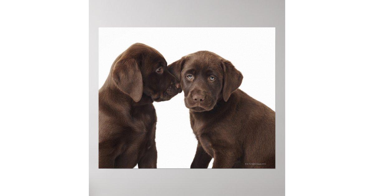 Schokoladen Labrador Retriever Welpen Poster