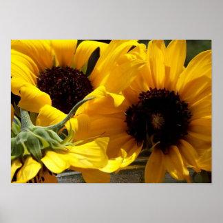 Schöne frische gelbe Sonnenblumen Poster