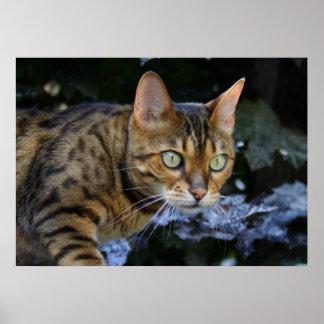 Schöne schleichende bengalische Katze Poster