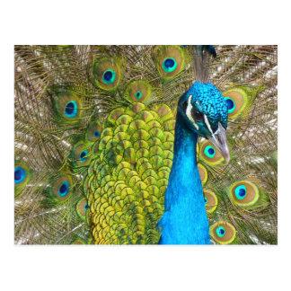 Schöner Pfau-atemberaubender grüner Vogel Postkarte