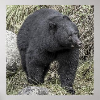 Schwarzer Bär Poster