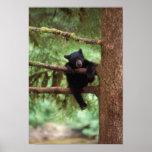schwarzer Bär, Ursus americanus, Junges in einem B Plakate