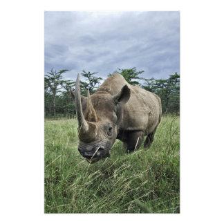 Schwarzes Nashorn, Diceros bicornis, Kenia Photo
