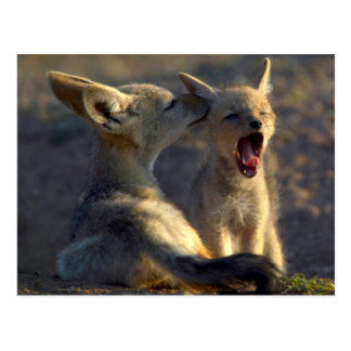 Schwarzrückige Welpen des Jackal-(Canis Mesomelas) Postkarte