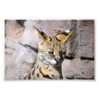 Serval-Katze Fotodruck