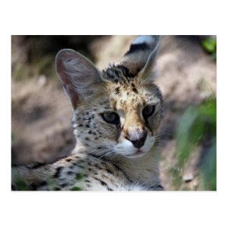 Serval-Katzen-Postkarte Postkarte