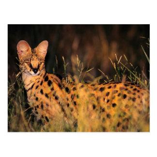Serval (Leptailurus Serval) im langen Gras Postkarte