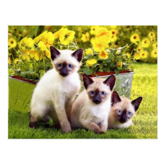 Siamesische Kätzchen-Dreiergruppen Postkarten