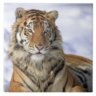 Sibirischer Tiger, der Pantheratigris altaica, Große Quadratische Fliese