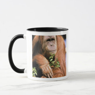 Sichernder Orang-Utan oder Pongo pygmaeus. 2 Tasse