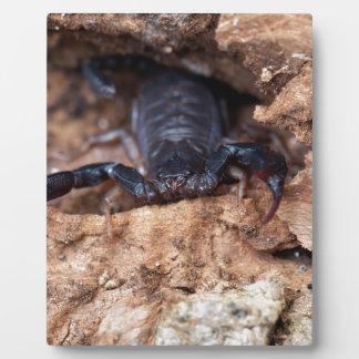 Skorpion des Spezies Euscorpius italicus Fotoplatte